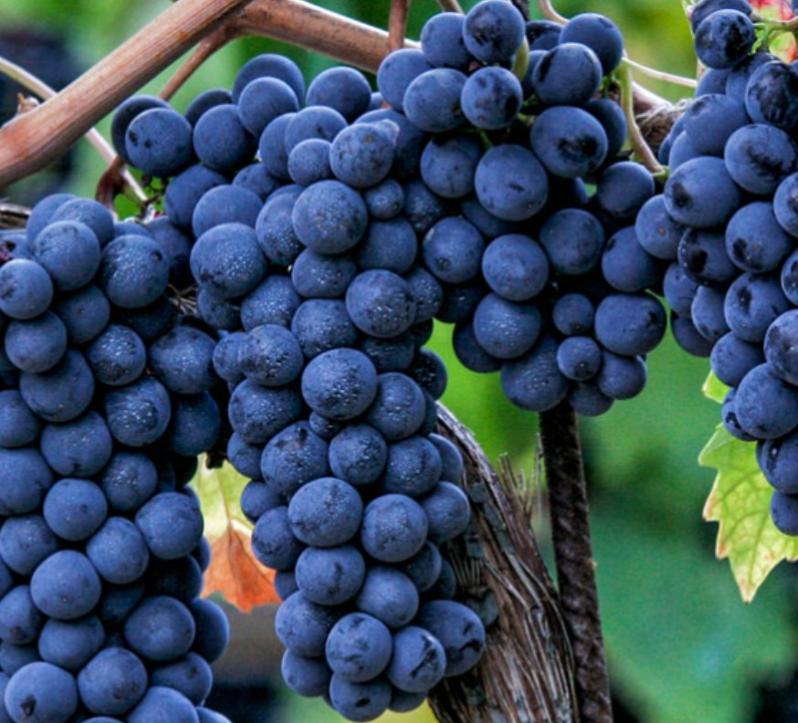 montefalco-sagrantino-vendemmia-grape-assistance